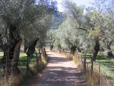 Olijvenbomen